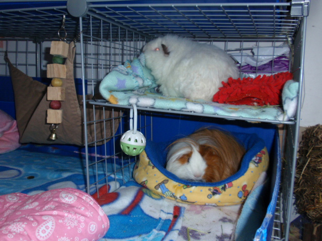 Housing for How to make a guinea pig bed